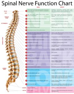 Spinal-Nerve-Function-Chart